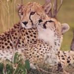 cheetahcouple2
